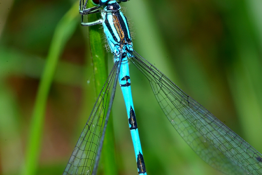 4 Coenagrion hastulatum Speer-Azurjungfer (31).JPG