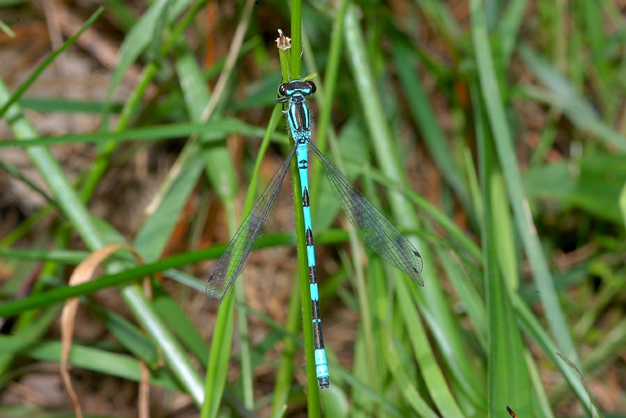 3 Coenagrion hastulatum Speer-Azurjungfer (33).JPG