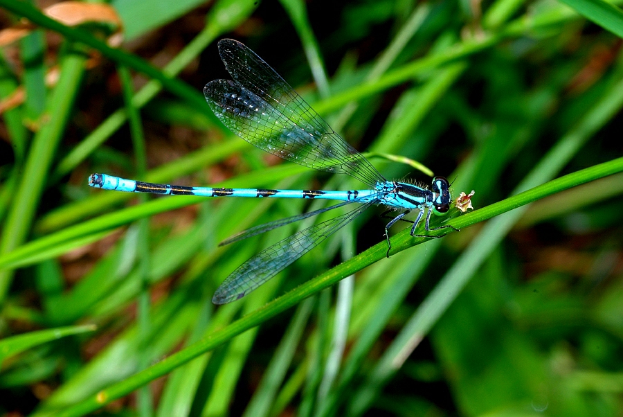 1 Coenagrion hastulatum Speer-Azurjungfer (20).JPG