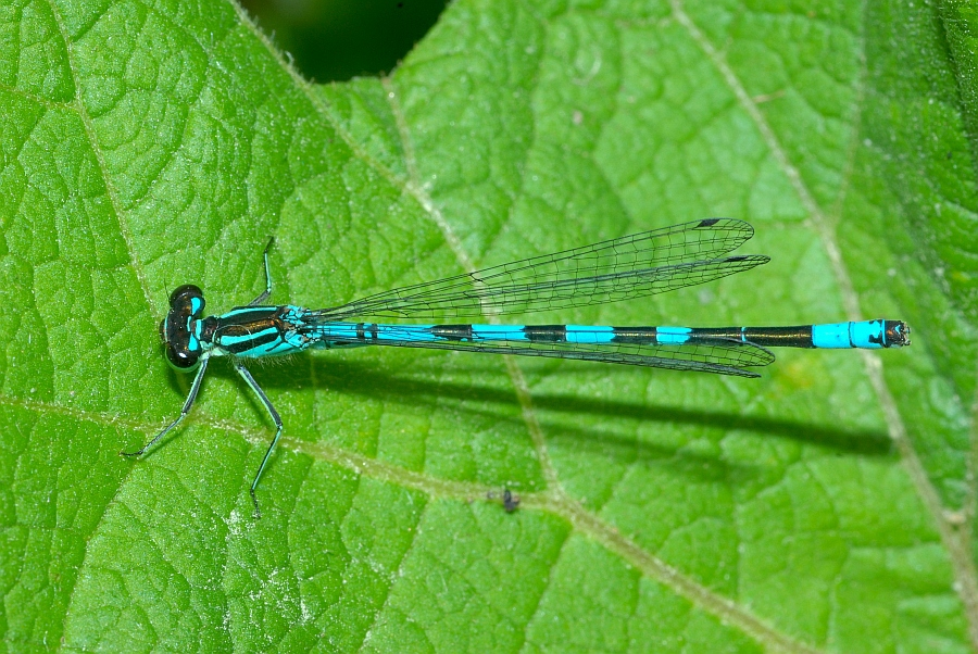 1 Coenagrion hastulatum Speer-Azurjungfer (17).JPG