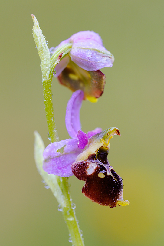 ophrys_holoserica_s_397.jpg