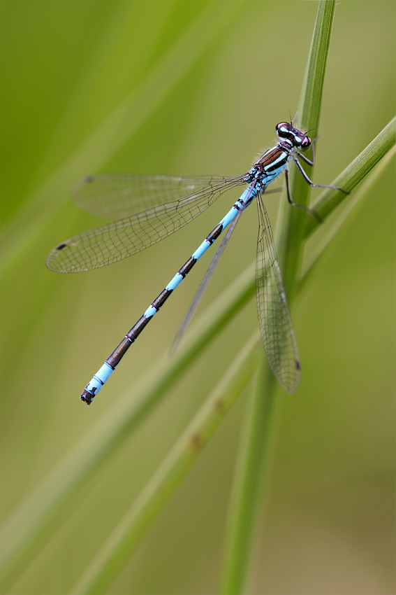 coenagrion_hastulatum_164.jpg
