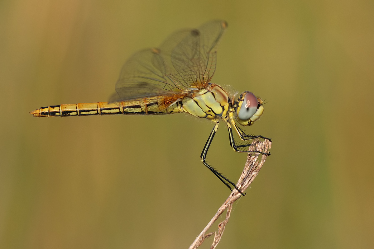 Sympetrum_fonscolombii_w_jung_IMG_5392.jpg