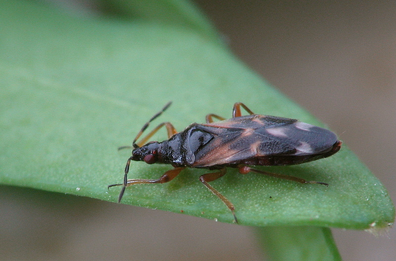 anthocoris_nemoralis2_670.jpg