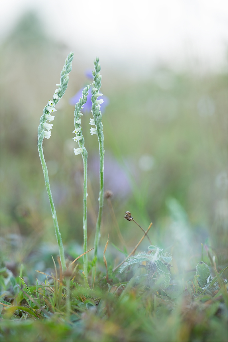 spiranthes1.jpg