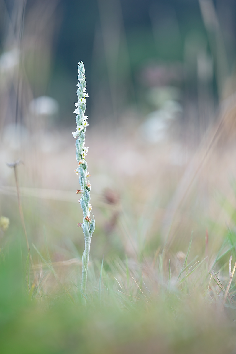 spiranthes_6_wendig.jpg