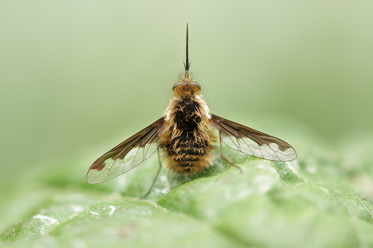 bombylius major_IMG_3727_1200.jpg