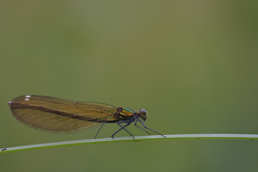 beautiful  demoiselle.jpg