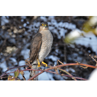 Sparrowhawk.JPG (Olaf Liesche)