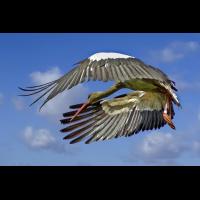 Storchabfliegend.jpg (rainer-sh)