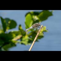Spitzenfleck (Libellula fulva) Männchen-forum.jpg (zerron112)