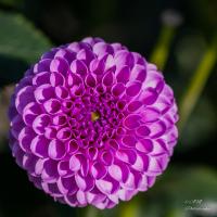 Rosa-Glatiole.jpg (fotobertl65)