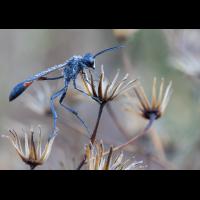 Gemeine Sandwespe (Ammophila sabulosa)_03LK0237.jpg (Klaus Liebel)