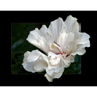 hibiskus.jpg (Dagmar E.)
