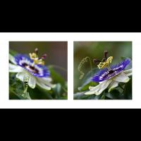 passiflora-plakat.jpg (Dagmar E.)