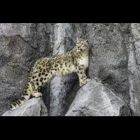 Schneeleopard1_1.jpg (harai)