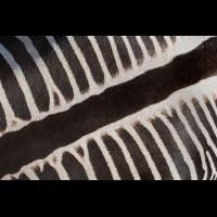 Zebra1_1.jpg (harai)