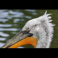 Pelikan1_1.jpg (harai)