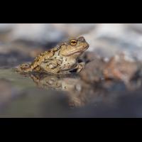 compErdkröten16.4.2020OberseeDSC_2145bearb.jpg (caesch1)