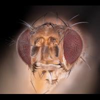 05268_D810_Mitutoyo10_12zu1_Drosophila_0p005.JPG (Guppy)