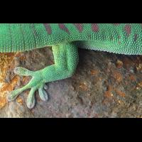 Madagaskar_Taggecko_IMG_9520.jpg (der_kex)
