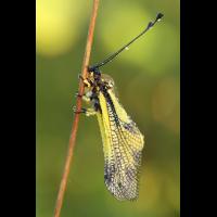 Libellenschmetterlingshaft_IMG_5340a.jpg (der_kex)