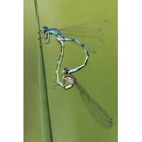 Coenagrion ornatum_copula_IMG_8975_1200a.jpg (der_kex)