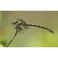 Onychogomphus uncatus_m_juvenil_IMG_3205_1200.jpg (der_kex)