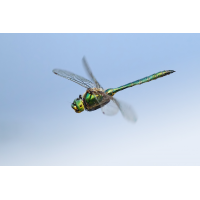 Somatochlora metallica_m_flug_IMG_0644d.jpg (der_kex)