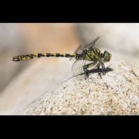Onychogomphus forcipatus unguiculatus_m_IMG_7121_1200.jpg (der_kex)