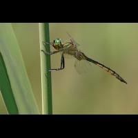 Somatochlora flavomaculata_IMG_4137_1200.jpg (der_kex)