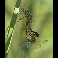 Somatochlora flavomaculata_paar_IMG_5119_1200.jpg (der_kex)