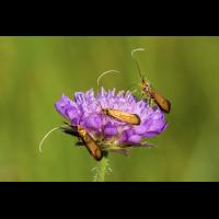 Goldlanghornmotten.jpg (Bergland)