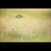Schwalbenschwanz in seinem Habitat - ML_05325_20170722.jpg (Markus Lenzen)