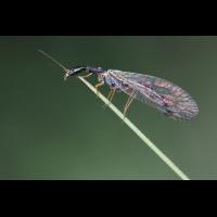 fliege-etwas-dunkler-IMG_6204.jpg (Freddie)