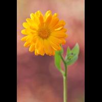 ringelblume-stack-minifehler-0474-78.jpg (Freddie)