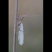 mantis-27095.jpg (Freddie)