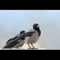 20180930-_R1A2538 Nuegier der Nebelkrähenn.jpg (wolfdegen)