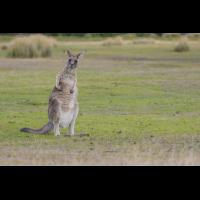 Forester Känguru-5770.jpg (laus1648)
