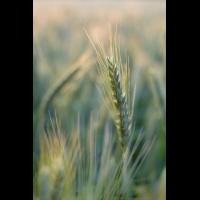 Getreide im Abendlicht gesch-6860.jpg (laus1648)
