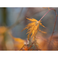 Ahorn Herbst-170002.JPG (laus1648)