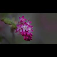 Zierjohannisbeere 0515-1200px.jpg (Peter Schmitz)