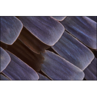 80x-Charaxes etesipe-1200.jpg (A_K)