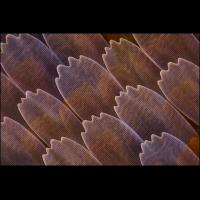 80x-Junonia spec-2-1200.jpg (A_K)