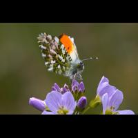 Aurorafalter (Anthocharis cardamines) .JPG (bebewi)