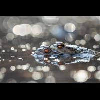 erdkröten.jpg (Markand)