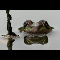 Frosch.jpg (helmi2010)