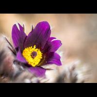 Frühlingsschelle01.jpg (rincewind)