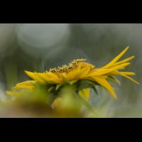 Sonnenblume 5.jpg (klaus57)