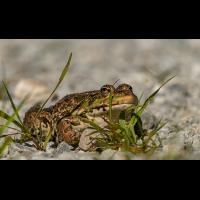 Frosch 7.jpg (klaus57)